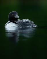 Oiseau_huard_15_2020.png
