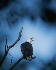 Oiseau_pygargue_1_2021.png