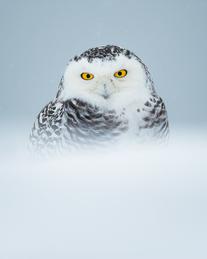 Oiseau_harfang_4_2021.png