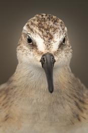 Oiseau_becasseau_5_2021.png