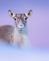 Caribou_hiver_3_2021.png