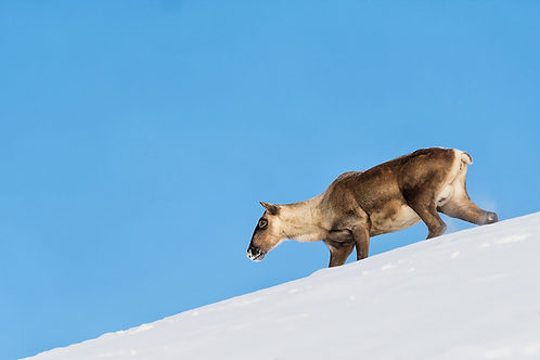 Caribou Alpin