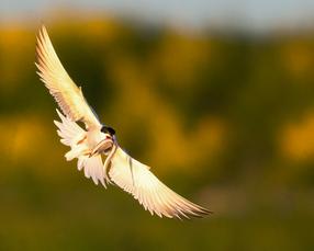 Oiseau_sterne_3_2021.png