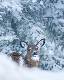 Cerf_hiver_4_2021.png