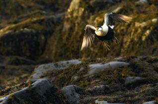 Oiseau_eideraduvet_1_2021.png