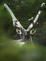 Caribou_ete_1_2020.png