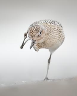 Oiseau_pluvierargente_1_2020.png