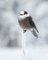 Oiseau_Mesangeai_2_2021.png