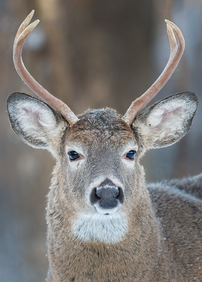 Cerf_6.png