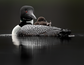 Oiseau_huard_19_2020.png