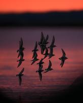 Oiseau_becasseau_13_2021 2.png