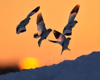 Oiseau_plectrophane_1_2021.png