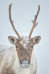 Caribou_hiver_4_2020.png