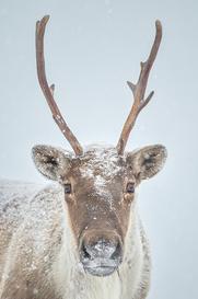 Caribou_hiver_4_2020.png