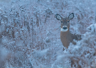 Cerf_hiver_11_2019.png