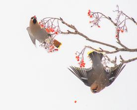Oiseau_jaseurboreal_1_2018 2.png