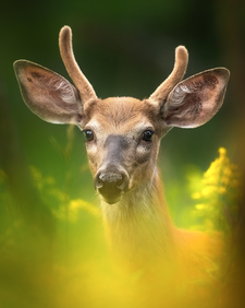 Cerf_3_2020.png