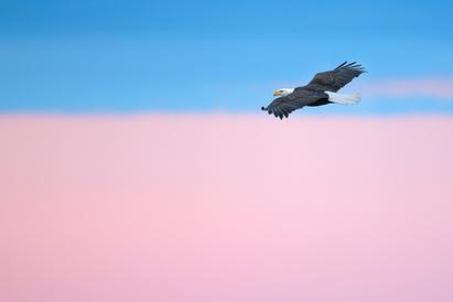 Oiseau_pygargue_2_2021.png