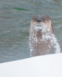 Mammifere_loutre_1_2019.png