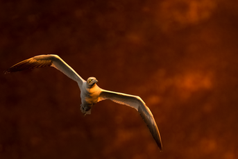 Oiseau_foudebassan_1_2021_V2.png