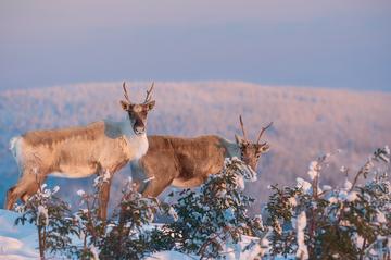 Caribou_hiver_5_2019.png