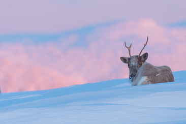 Caribou_hiver_6_2019.png
