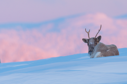 Caribou_hiver_6_2019.png