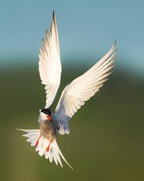 Oiseau_sterne_1_2021.png