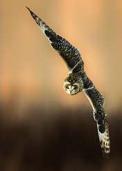 Oiseau_hiboudesmarais_3_2021.png