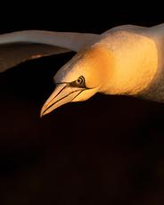 Oiseau_foudebassan_1_2021.png