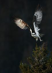 Oiseau_balbuzard_1_2020.png