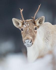 Caribou_hiver_3_2018.png