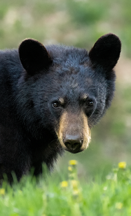 Mammifere_ours_1_2021.png