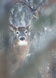 Cerf_hiver_1_2021.png