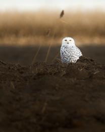 Oiseau_harfang_23_2020.png