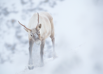Caribou_hiver_2_2019.png