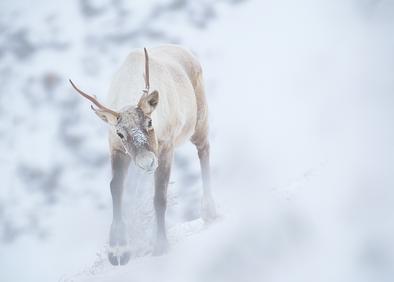 Caribou_hiver_2_2019.png