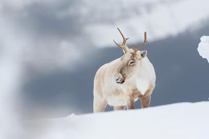 Caribou_hiver_5_2018.png