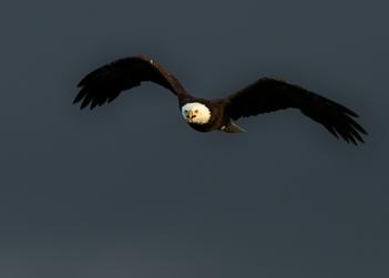 Oiseau_pygargue_1_2020.png