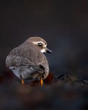 Oiseau_pluviersemipalme_2_2020.png