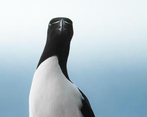 Oiseau_pingouin_2_2021.png