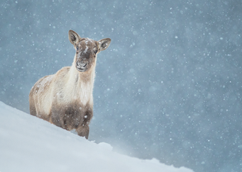 Caribou_hiver_6_2020.png