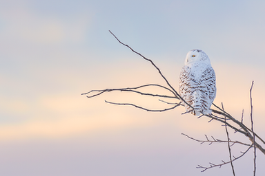 Oiseau_harfang_17_2019_V2.png