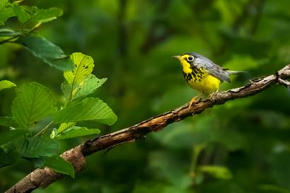 Oiseau_paru_canada_1_2021.png