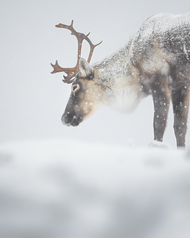 Caribou_hiver_3_2020.png