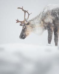 Caribou_hiver_3_2020.png