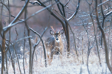 Cerf_hiver_2_2021.png