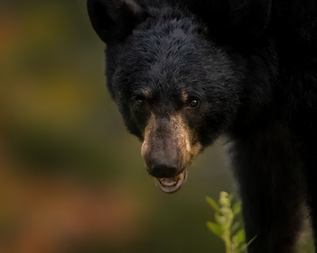 Mammifere_ours_2_2020.png
