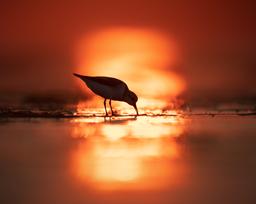 Oiseau_becasseau_7_2021.png