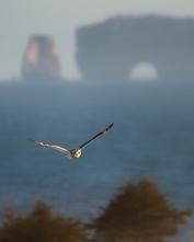 Oiseau_hiboudesmarais_2_2020.png